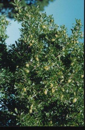 Arganadir Bio Arganöl geröstet und kaltgepresst 250 ml | Vegetarisches Delikatess-Speiseöl | Rein Vegan Fair | Für Salate kalte und warme Küche und als Nahrungsergänzung | Von Souk du Maroc - 4